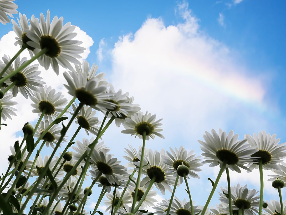 Best rainbow photography - shasta daisies and rainbow