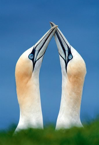 A pair of gannets