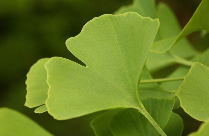 Ginkgo can help treat chronic fatigue syndrome