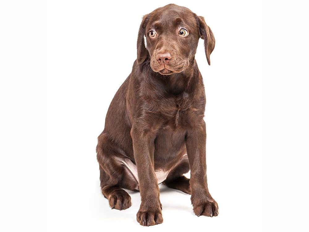 Guilty looking chocolate lab puppy