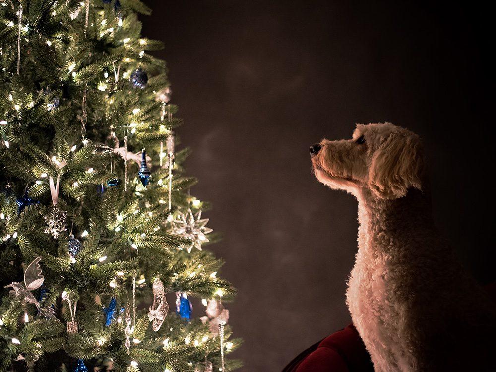Dog looking at Christmas tree
