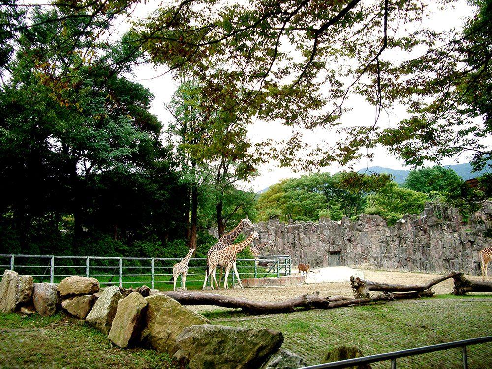 Giraffes at Seoul Children's Grand Park zoo
