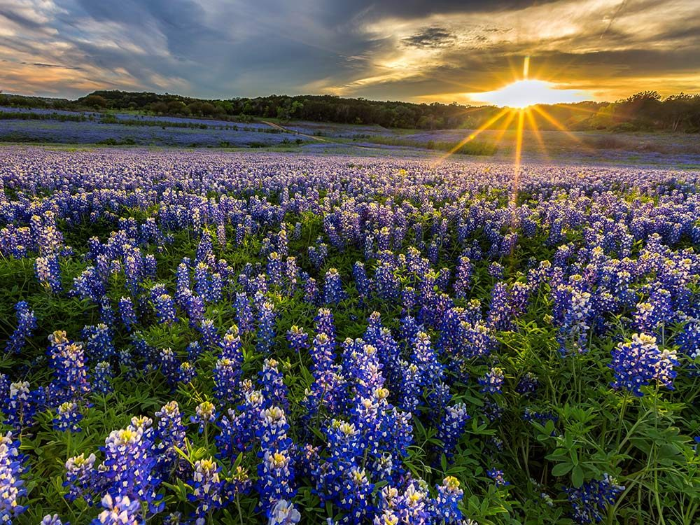 Bluebonnets in Ennis, Texas