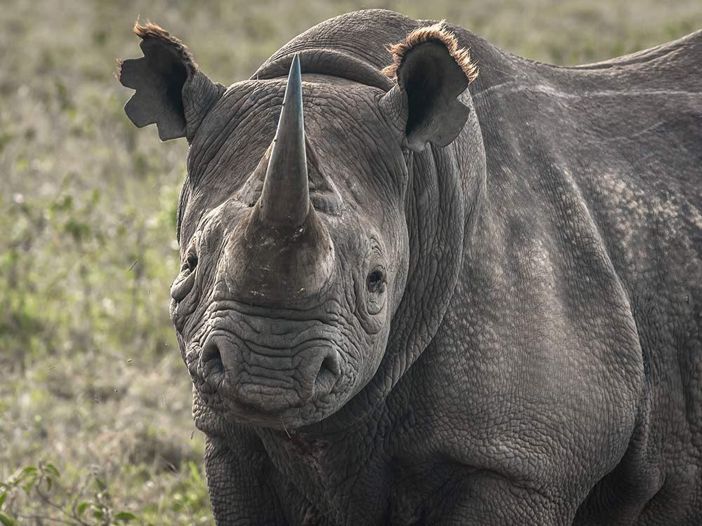 Black rhino in Kenya
