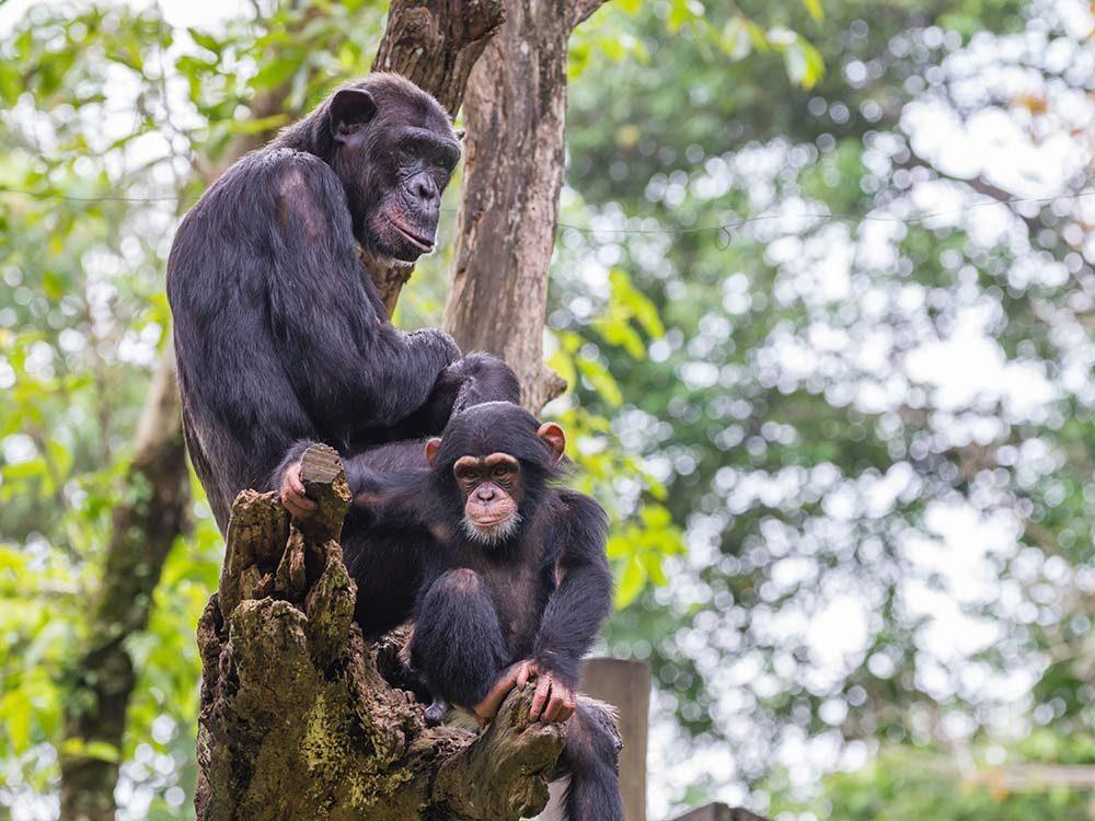 Chimpanzees on a tree