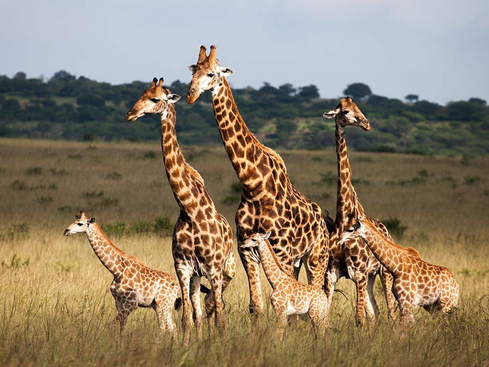 Family of giraffes in Africa