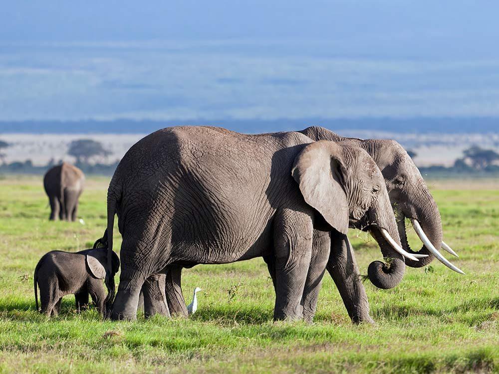 Elephants in the safari
