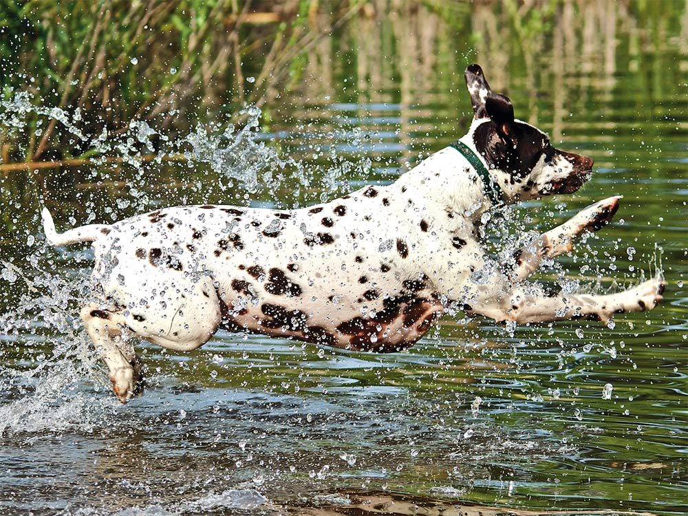White dog with back spots running in pond