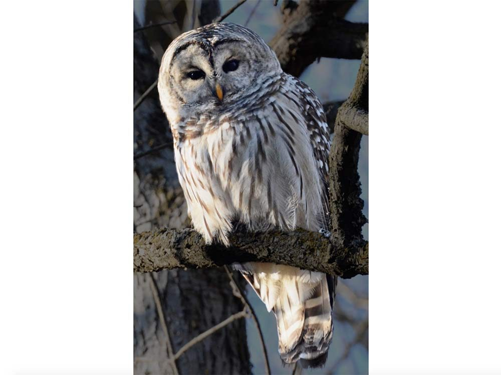 Barred owl in Rattray Marsh, Mississauga, Ontario