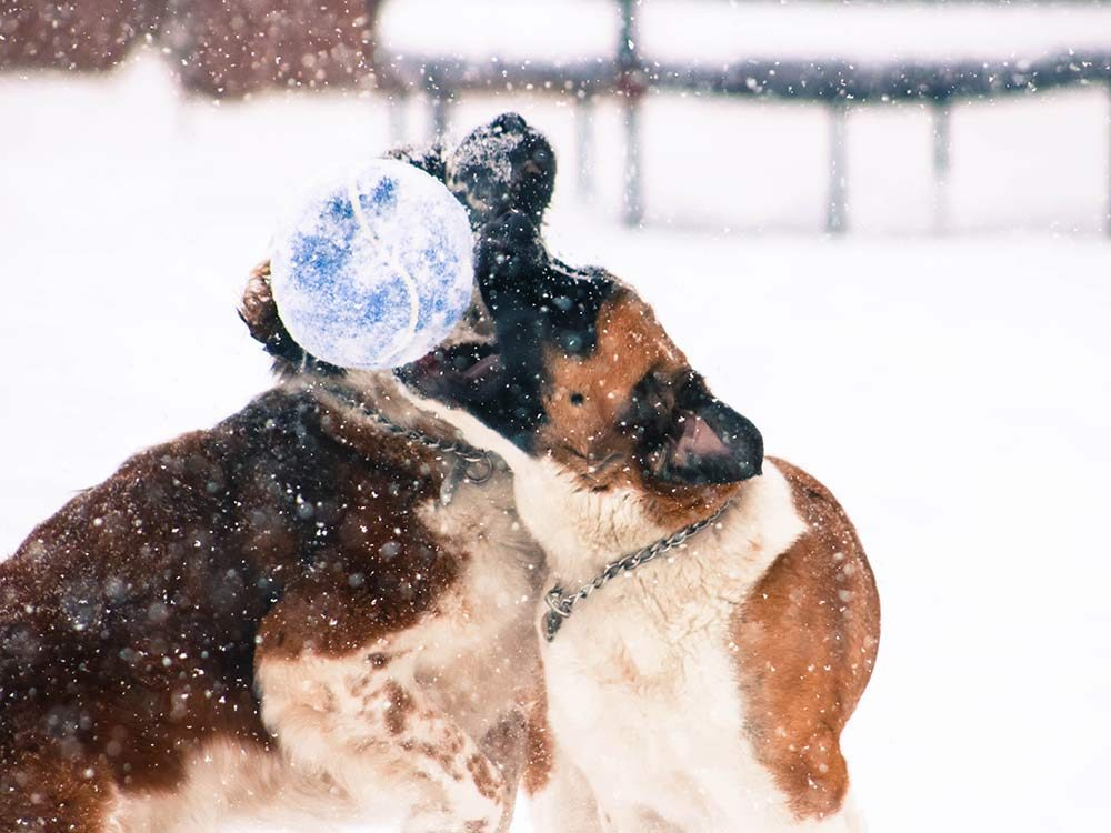 Two Saint Bernard dogs playing with a ball on a snowy field