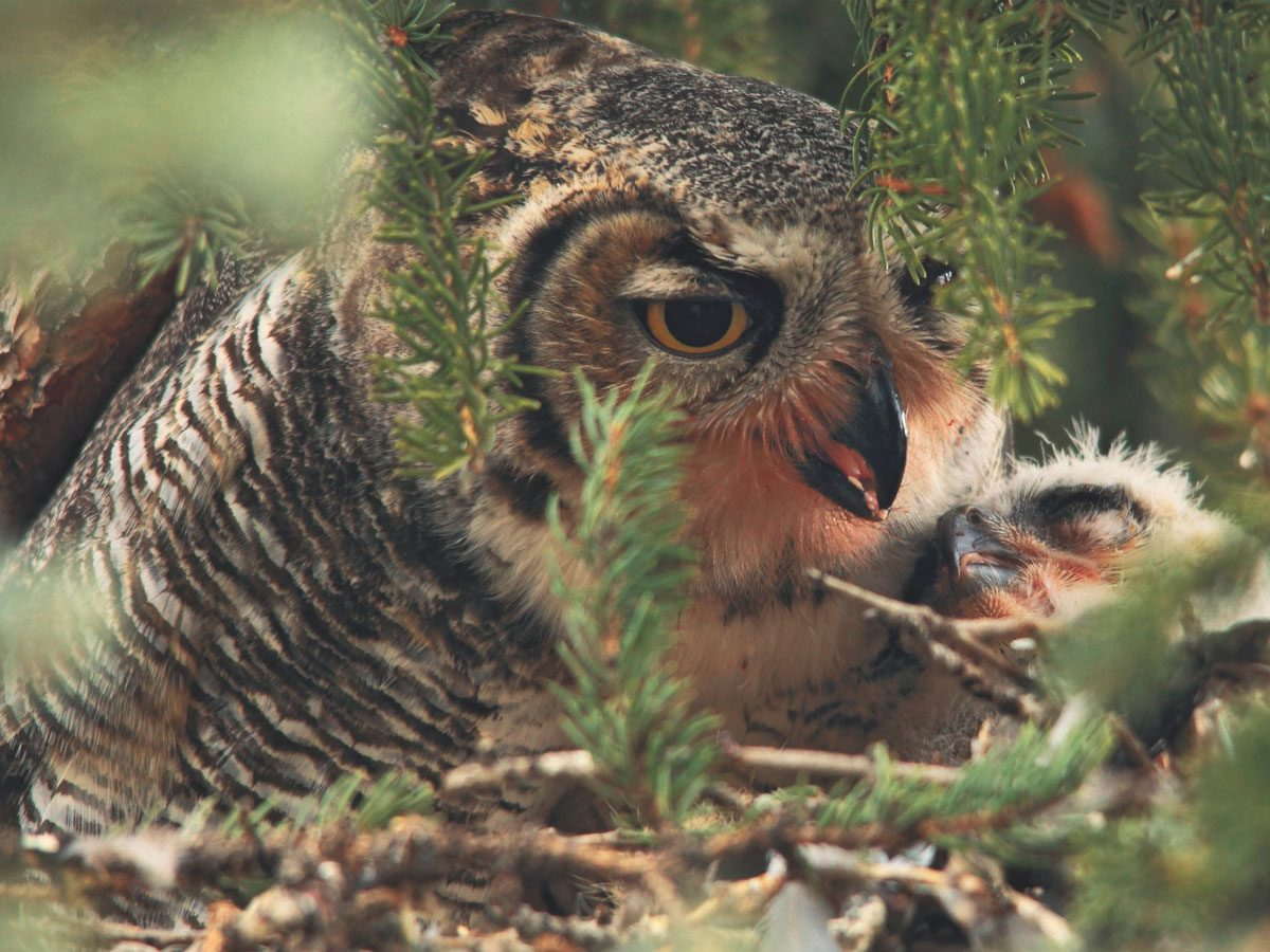 Horned owl and her young one