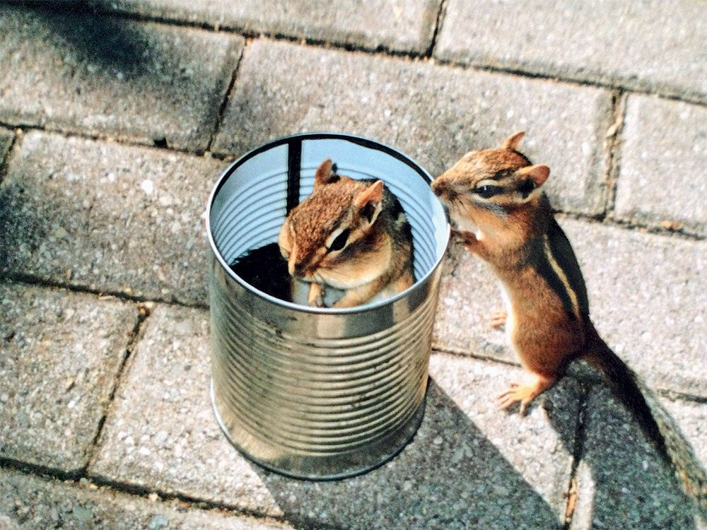 Chipmunks in a can