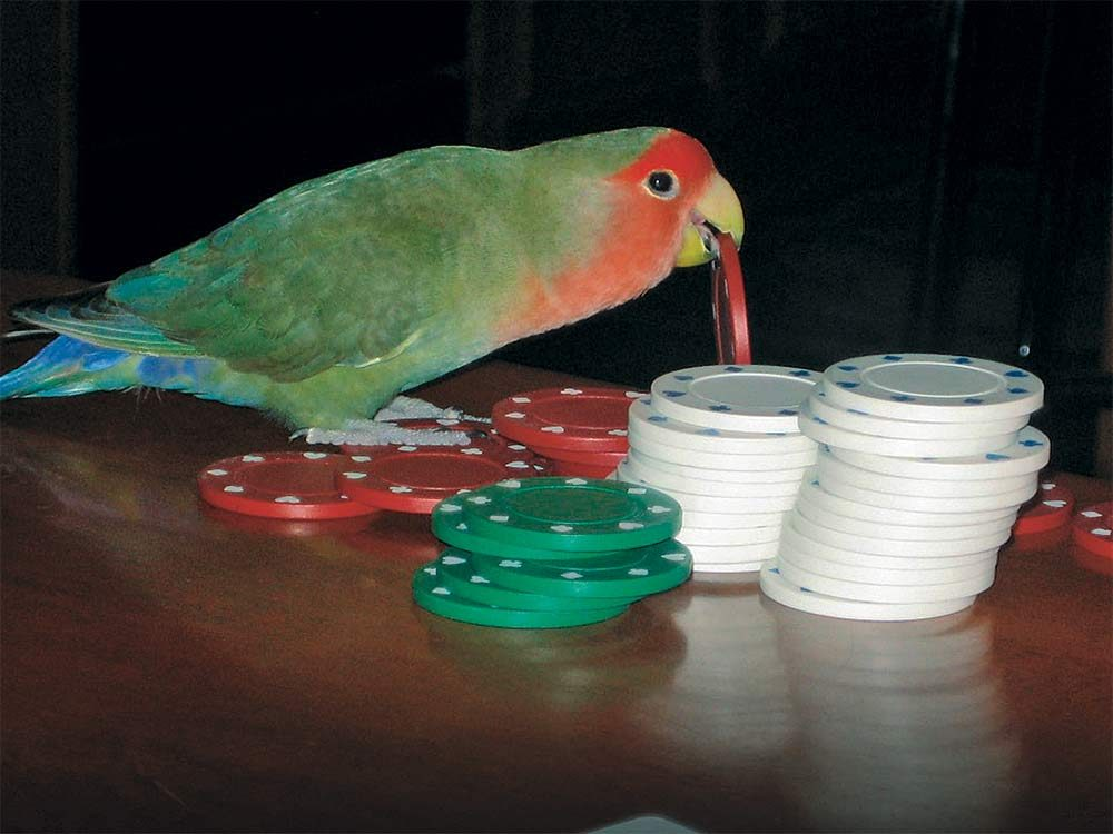 Bird playing with poker chips