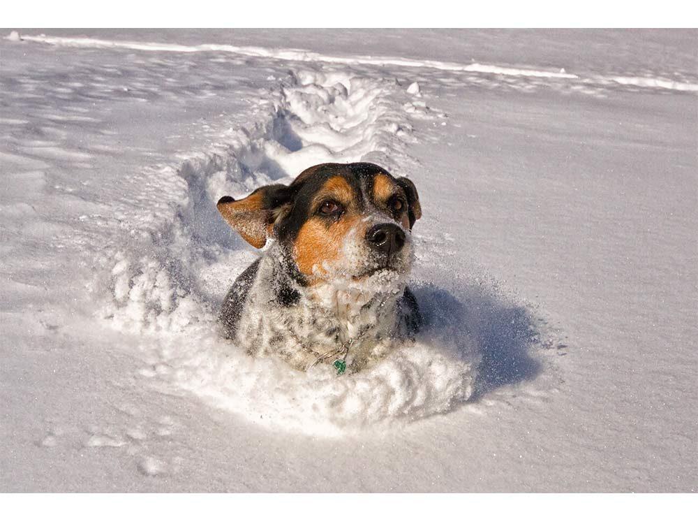 Beagle mix dog running through snow