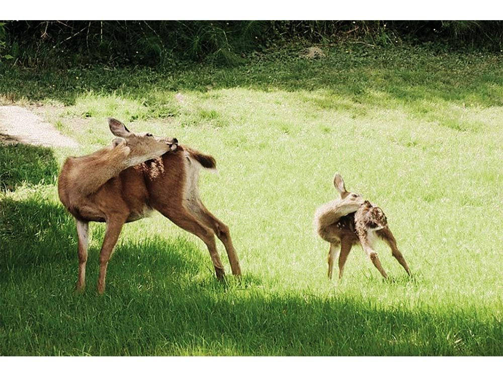 Two deer in Campbell River, British Columbia