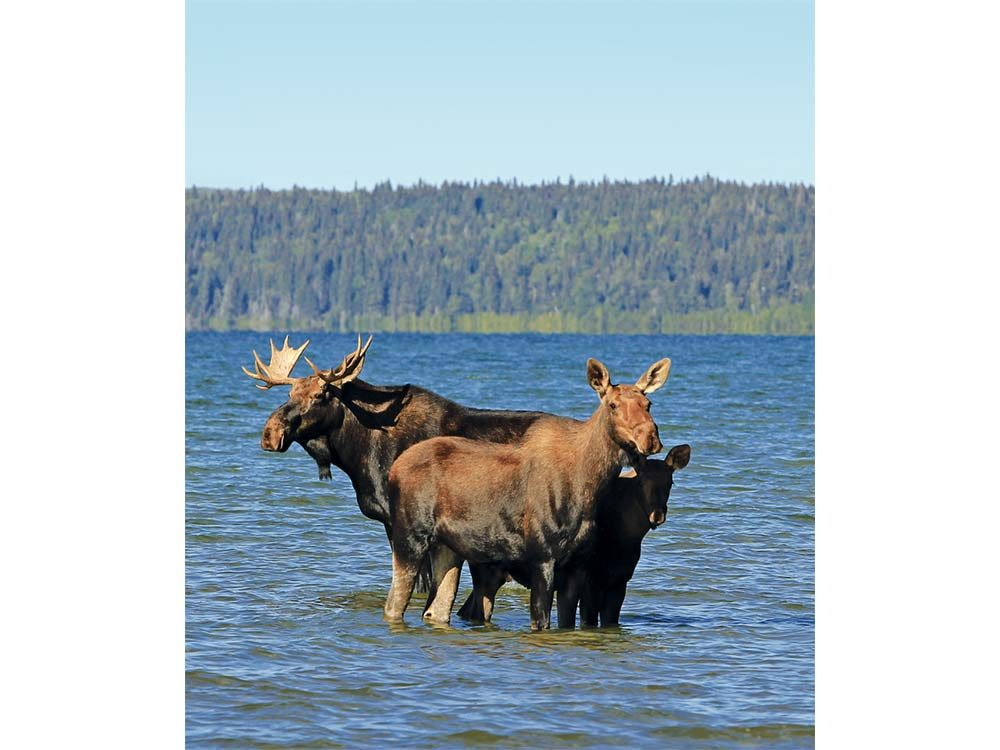 Moose sighting in Prince Albert