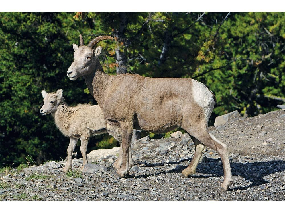 Mountain sheep in Banff National Park