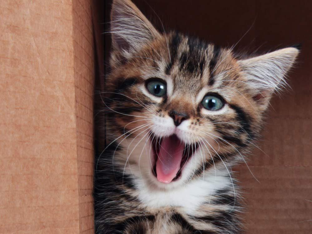 Smiling tabby kitten