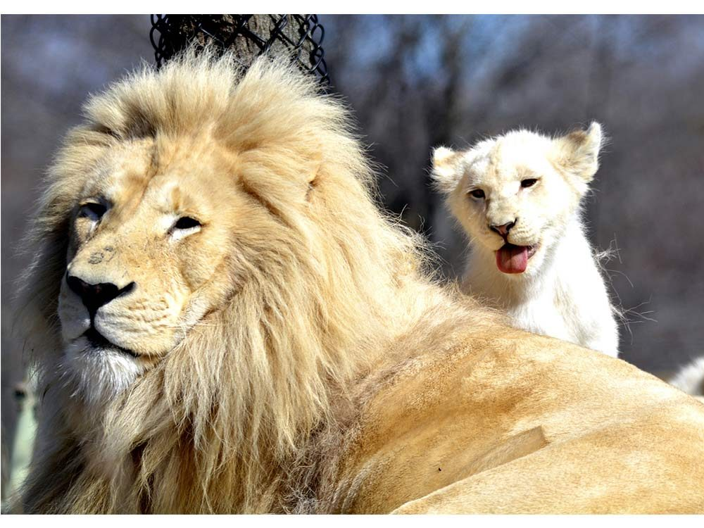 Lion cub and his father
