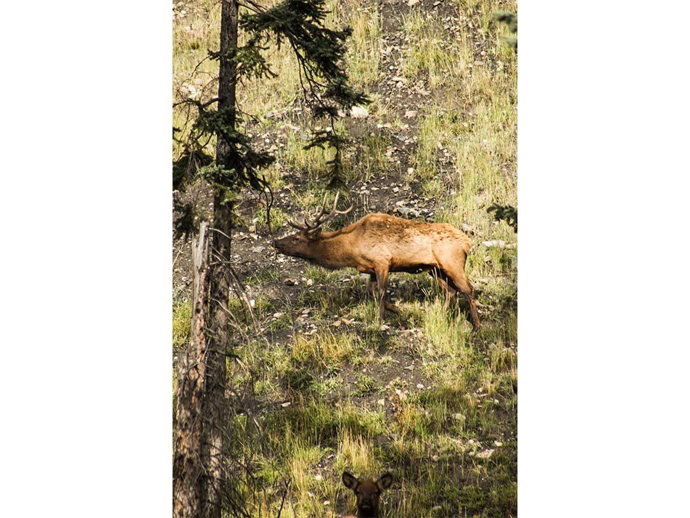 Elk in British Columbia