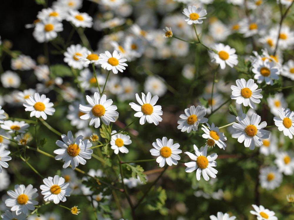 Feverfew is a medicinal herb you can grow