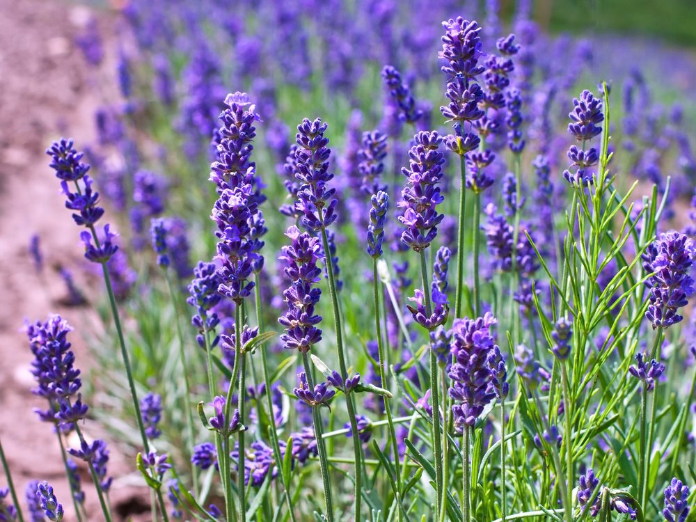 Lavender is a medicinal herb you can grow