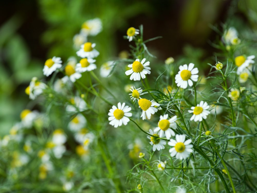 Chamomile is a medicinal herb you can grow