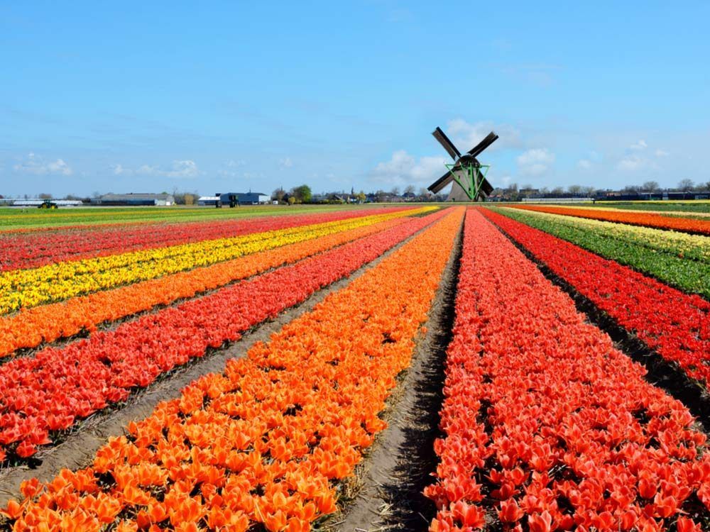 Colourful field in Holland