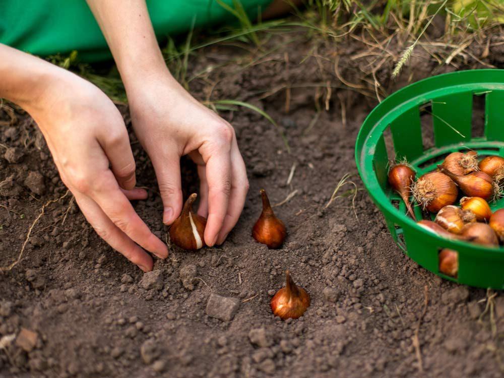 Planting bulbs in the garden