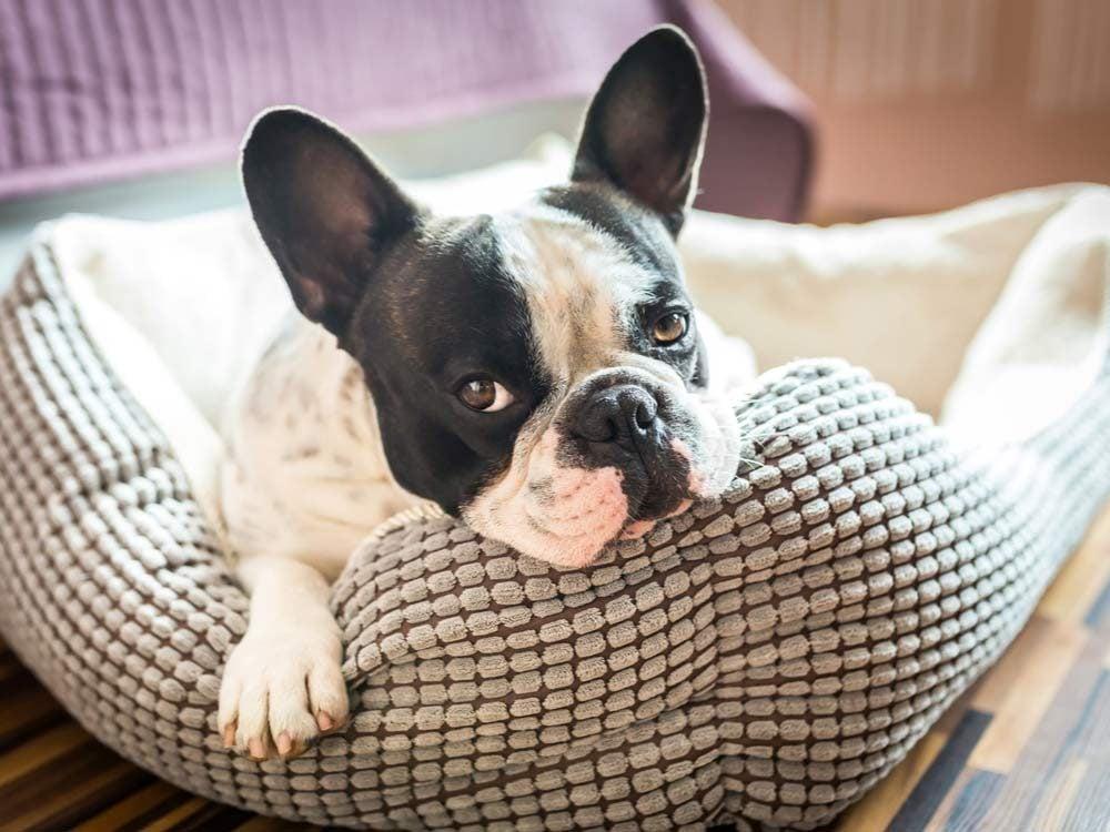 French bulldog on dog bed
