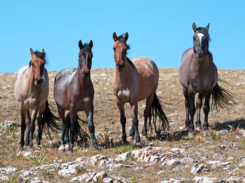 Wild horses on the Pryor Mountains