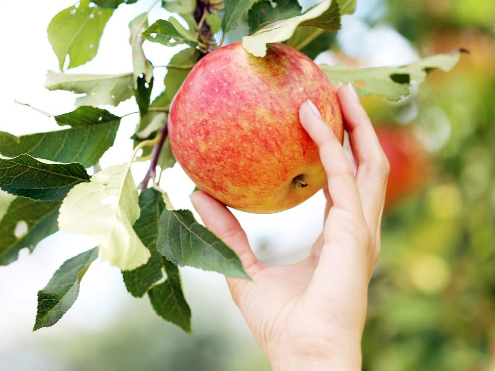 Picking apple from tree