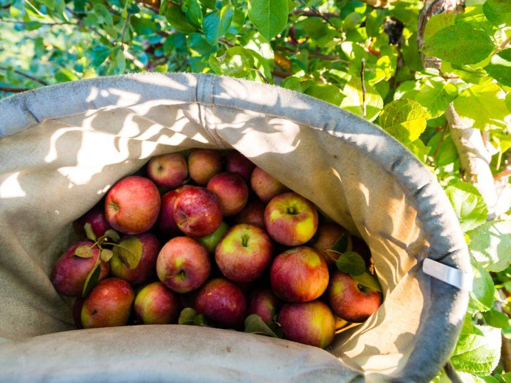 Red apples in tote bag
