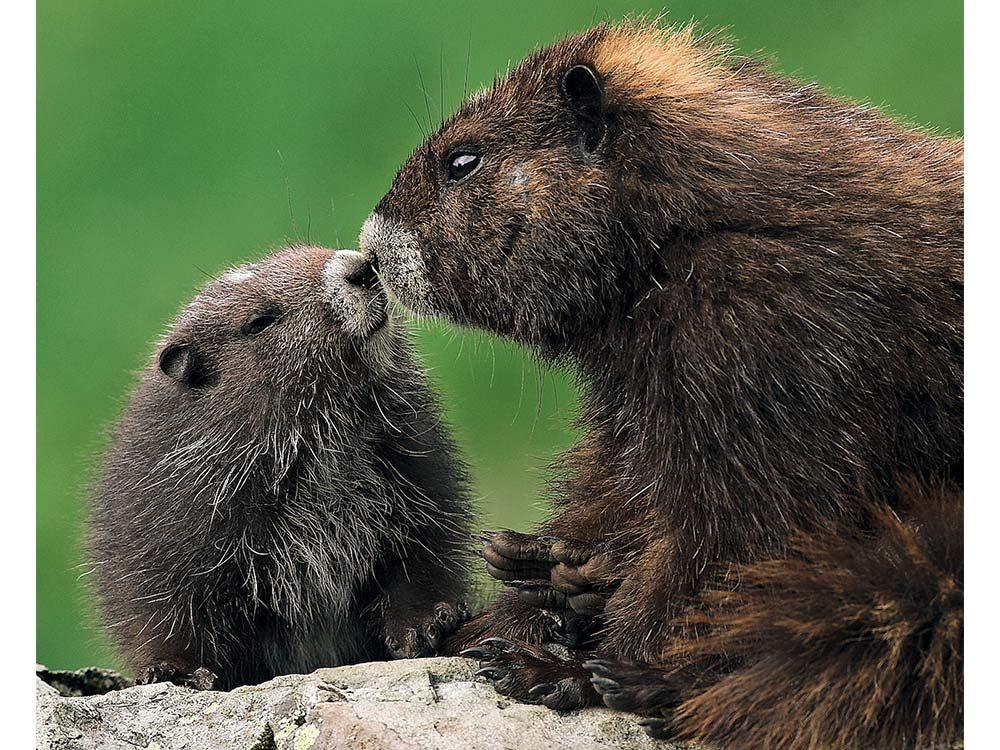 Canadian marmots