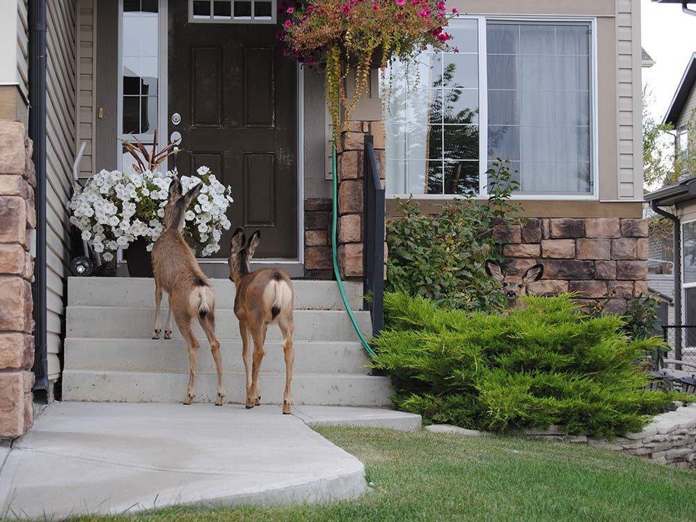 Two deer on porch of home