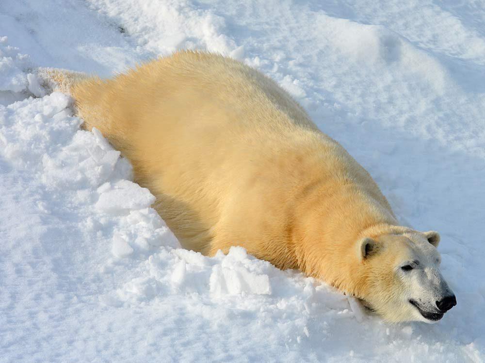 Polar bear at the Toronto Zoo