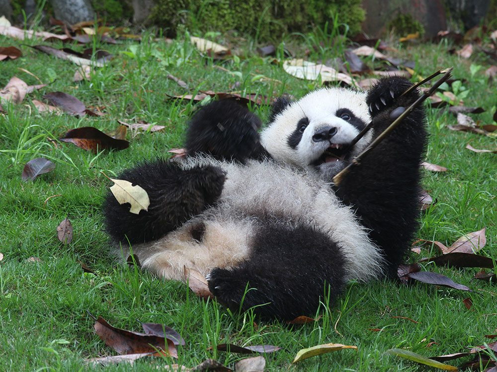 Captive breeding of giant pandas