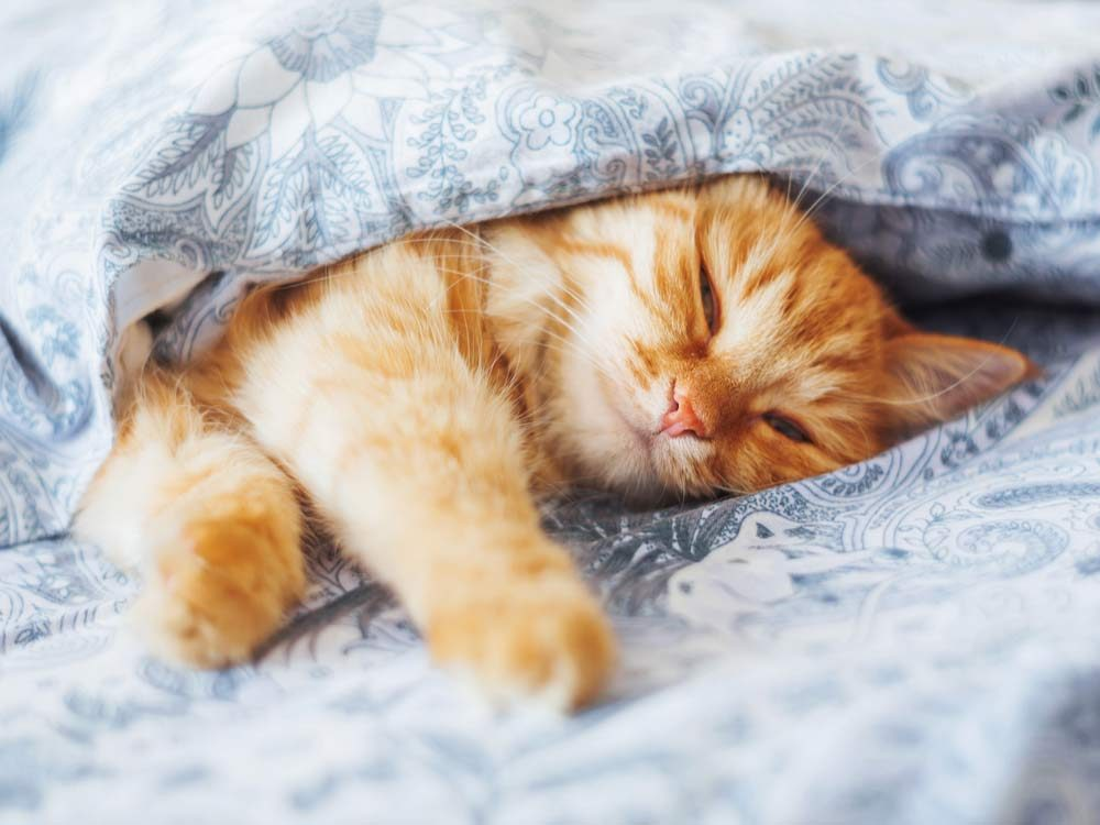 Ginger cat lying in bed