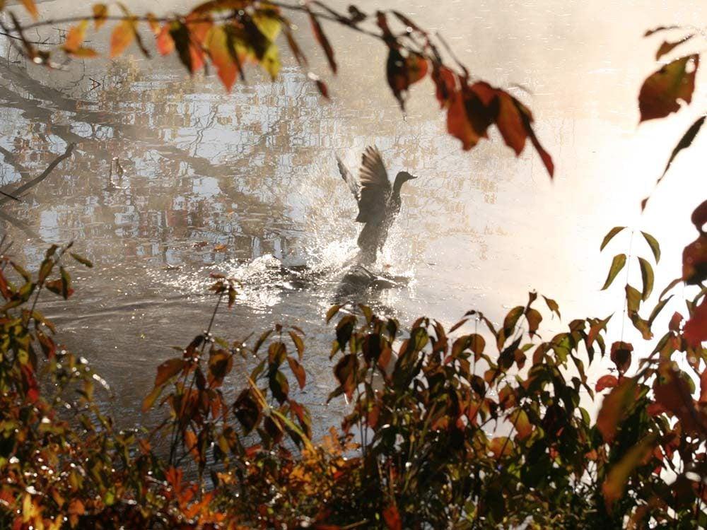 Mallard on the Severn River