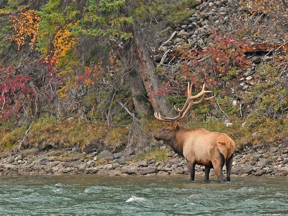 Bull Elk crossing Bow River