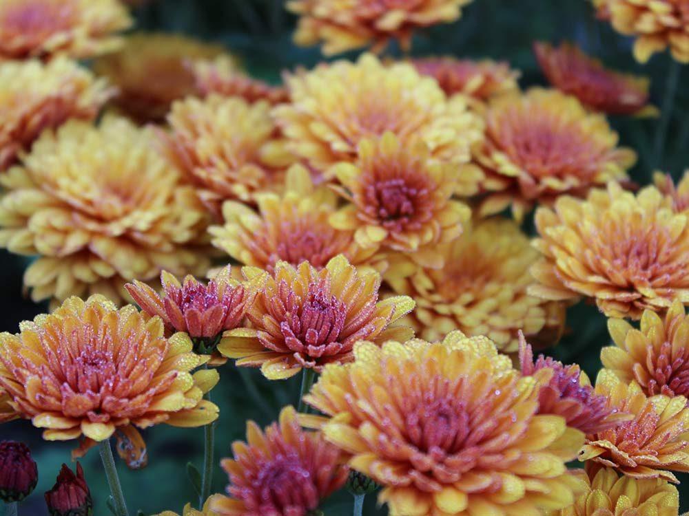 Autumn mum flowers