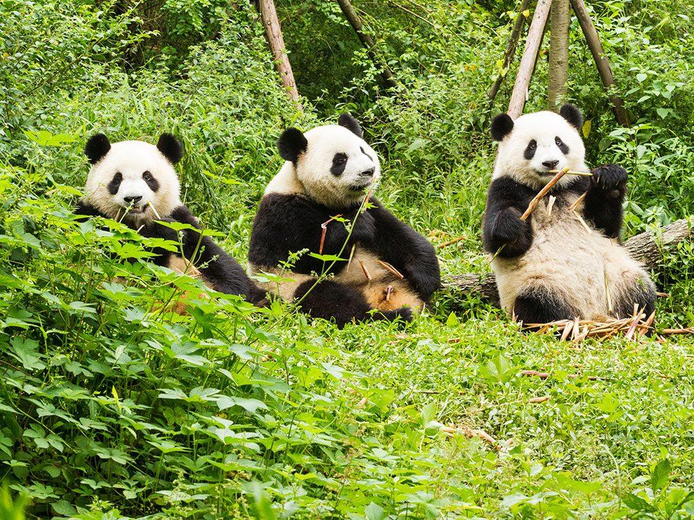 Giant pandas in the wild