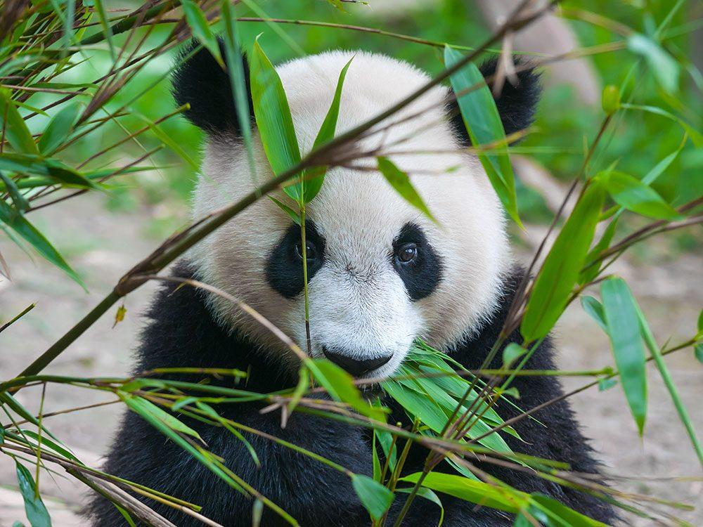 Giant pandas love bamboo