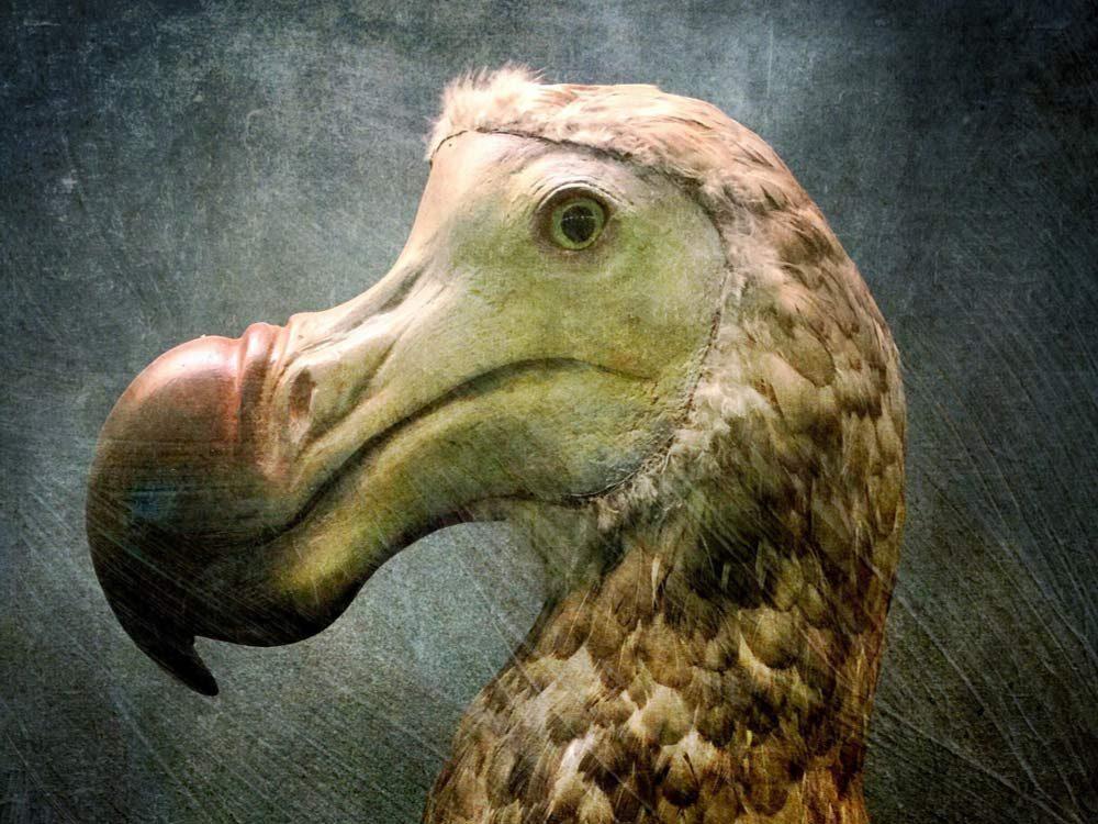 Dodo bird recreation