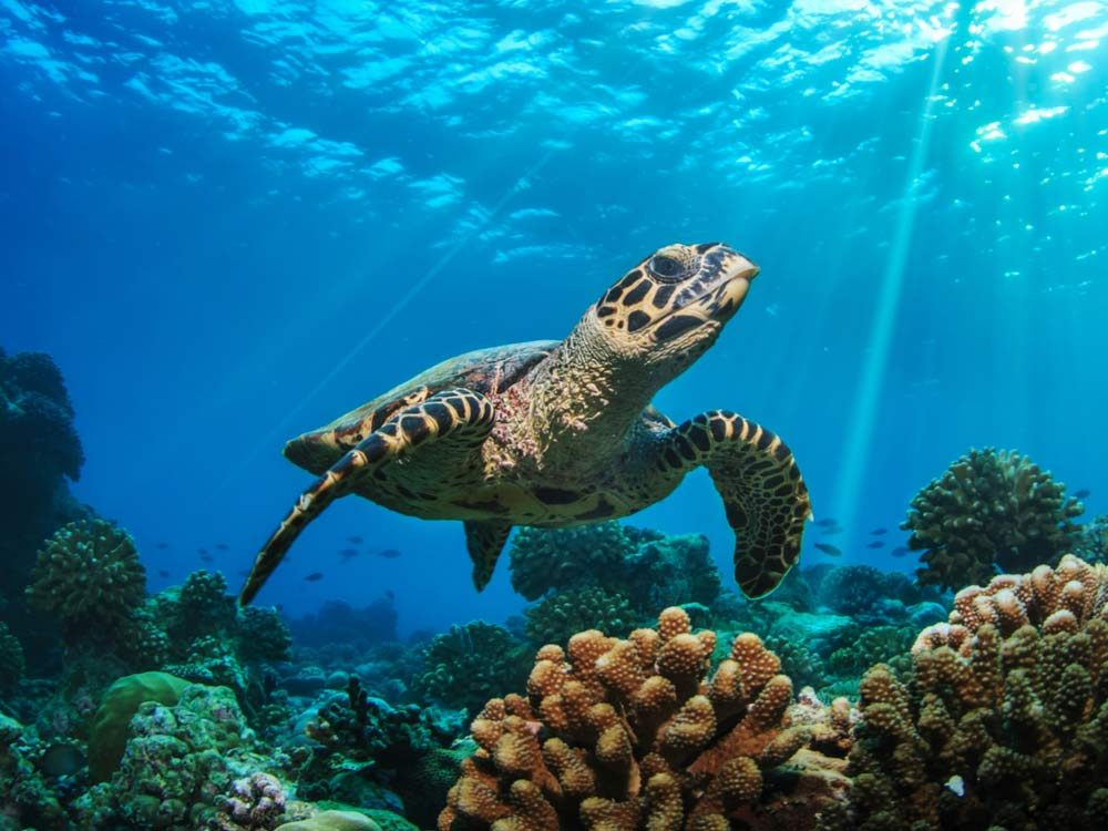 Sea turtle above coral reef