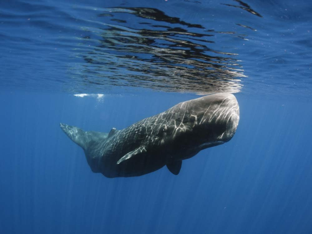 Sri Lankan sperm whale