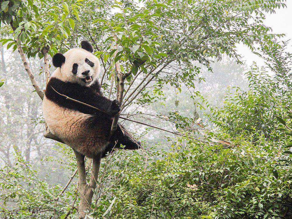 Introducing wild pandas to the wild