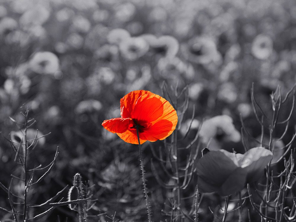 Wear a red poppy for Remembrance Day