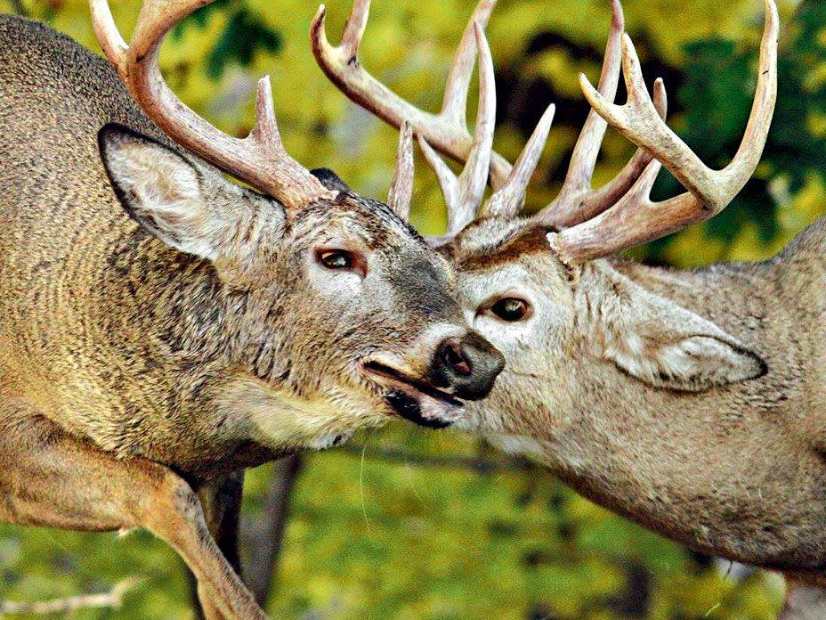 Photographing deer in rutting season