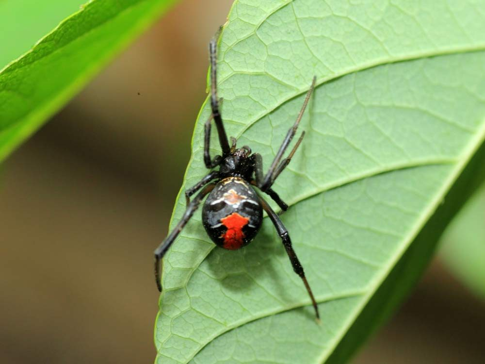 Red back spider on leaf